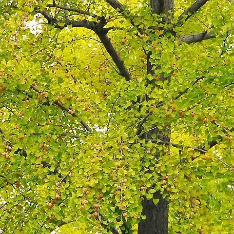 110930gingko-tree.jpg